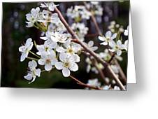 Pear Tree Blossoms IIi Greeting Card