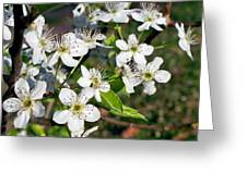 Pear Tree Blossoms Iv Greeting Card