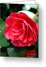 Pearl Of Beauty - Red Camellia Greeting Card