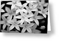 Pelargonium Graveolens Greeting Card