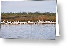 Pelican Gathering Greeting Card