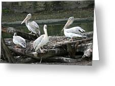 Pelican Grouping Greeting Card