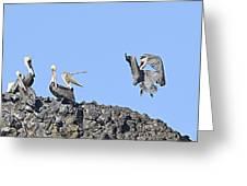 Pelican Landing On A Rock Greeting Card