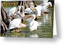 Pelican Squabble Greeting Card