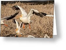 Pelican Takeoff Greeting Card