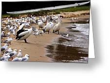 Pelicans At Pearl Beach 1.0 Greeting Card