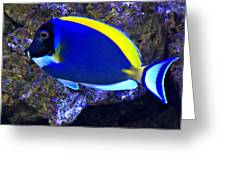 Blue Tang Fish  Greeting Card