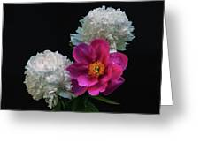 Peonies - Beautiful Flowers - On The Right Is One Of The First Places Among The Garden Perennials Greeting Card