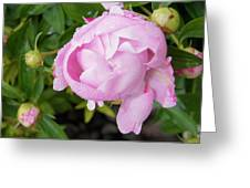 Peony After The Rain Greeting Card