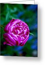 Peony Bloom Greeting Card