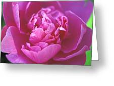 Peony In Pink Greeting Card