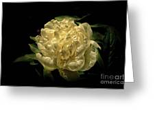 Peony Time Greeting Card