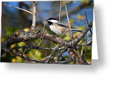Perched Black-capped Chickadee Greeting Card