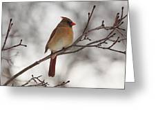Perched Female Red Cardinal Greeting Card