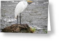 Perched Great Egret Greeting Card