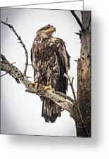 Perched Juvenile Eagle Greeting Card