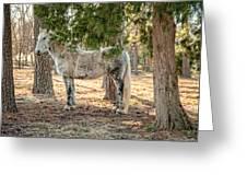 Percheron Standard Breed Greeting Card
