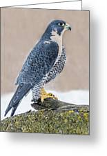 Perching Peregrine Falcon Greeting Card