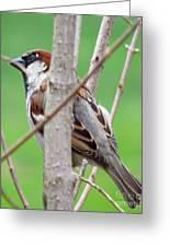 Perching Sparrow Greeting Card