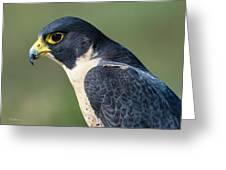 Peregrin Falcon Greeting Card