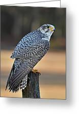 Peregrine Falcon Perched Greeting Card