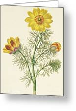 Perennial Adonis Greeting Card