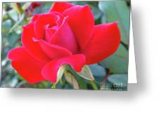 Perfect Form - Knock Out Rose Greeting Card