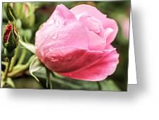 Perfect Pink Rose Greeting Card