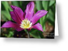 Perfect Single Dark Pink Tulip Flower Blossom Blooming Greeting Card