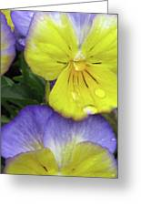 Perfectly Pansy 11 Greeting Card