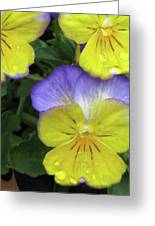 Perfectly Pansy 12 Greeting Card