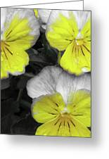 Perfectly Pansy 13 - Bw - Yellow Greeting Card