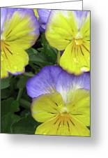 Perfectly Pansy 13 Greeting Card