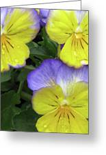 Perfectly Pansy 14 Greeting Card