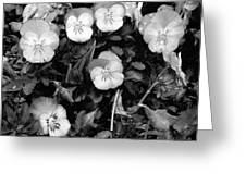 Perfectly Pansy 18 - Bw - Water Paper Greeting Card