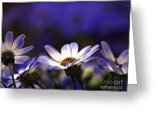 Pericallis On A Cool Spring Evening 4 Greeting Card