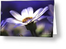 Pericallis On A Cool Spring Evening Greeting Card