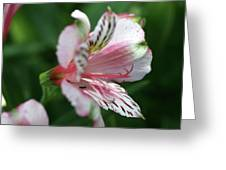 Perivian Lily With Ant Greeting Card