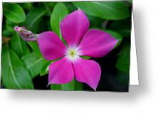 Periwinkle Flower Greeting Card