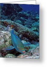 Perky Parrotfish Greeting Card