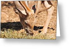 Persian Fallow Deer Greeting Card