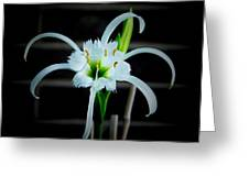 Peruvian Daffodil - 8x10 Greeting Card
