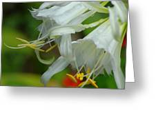 Peruvian Lilies 3 Greeting Card