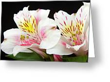 Peruvian Lilies Colorful Botanical Fine Art Print Greeting Card