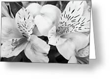 Peruvian Lilies  Flowers Black And White Print Greeting Card