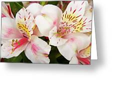 Peruvian Lilies  Flowers White And Pink Color Print Greeting Card