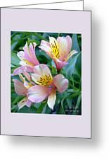 Peruvian Lily Of The Incas Greeting Card