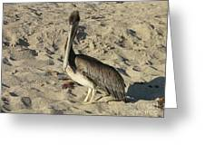Peruvian Pelican Standing On A Sandy Beach Greeting Card