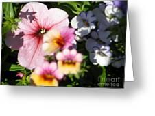 Petunia And Nemesia At Sunset Greeting Card