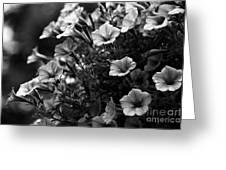 Petunias 1 Black And White Greeting Card